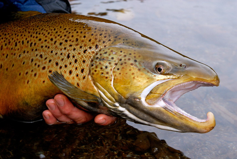 brown-trout-face-2