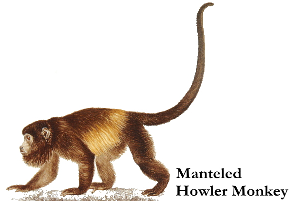 manteled_howler_monkey